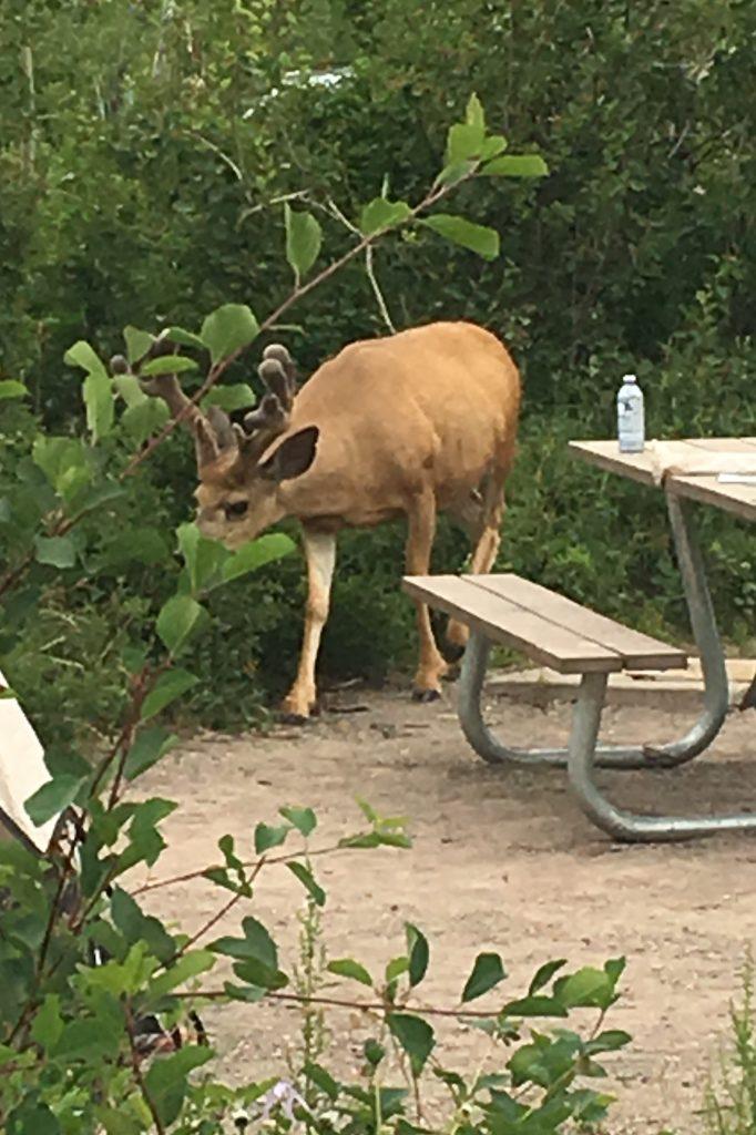 Un caribou (elk?) dans mon camping. n'a pas froid aux yeux celui-là, à brouter à deux pas de ma tente!